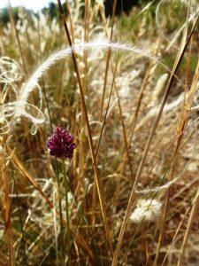 Fleur Ail sauvage
