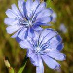 Chicorée - Chicory - Conseil en élixirs floraux de Bach