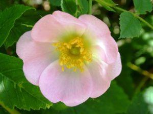 Eglantier - Wild rose - Conseils en élixirs floraux